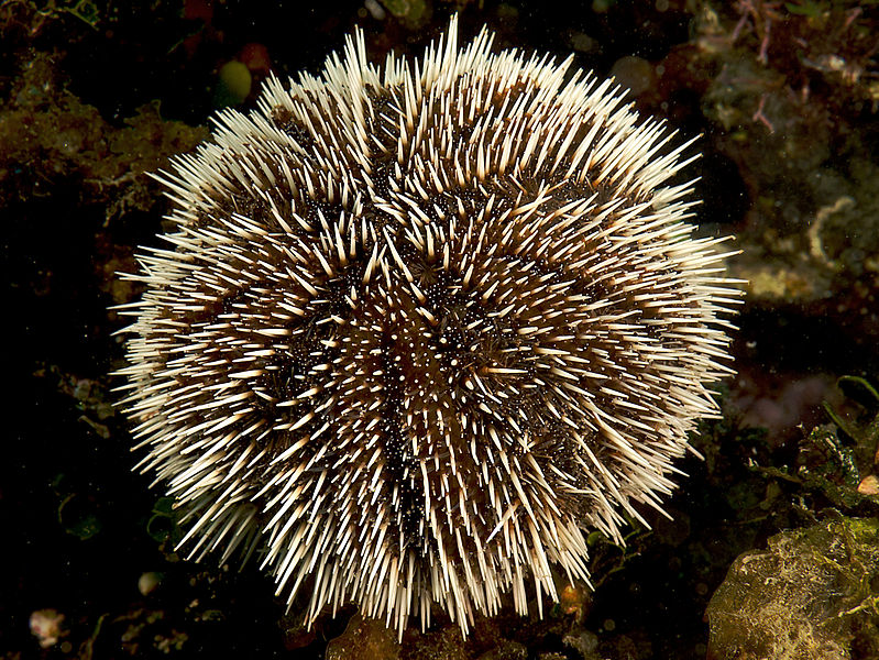 zwarte zee egel